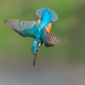 the dip by Riccardo Trevisani - Animals Birds ( trevisani, wild, nature, riccardo, kingfisher, wildlife )