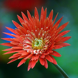 Gerbera  by Asif Bora - Flowers Flowers in the Wild
