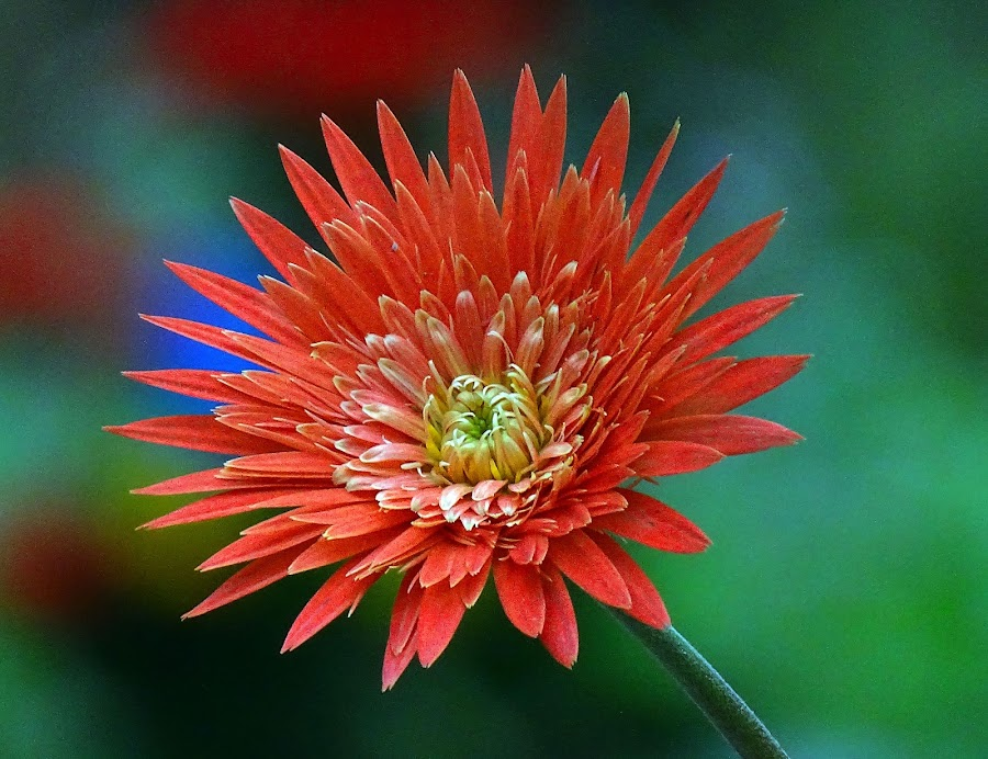 Gerbera  by Asif Bora - Flowers Flowers in the Wild (  )