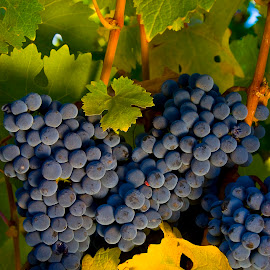 Three clusters of blue grapes with two yellow leaves. by Gale Perry - Food & Drink Fruits & Vegetables ( three, yellow leaves, blue grape clusters, napa,  )