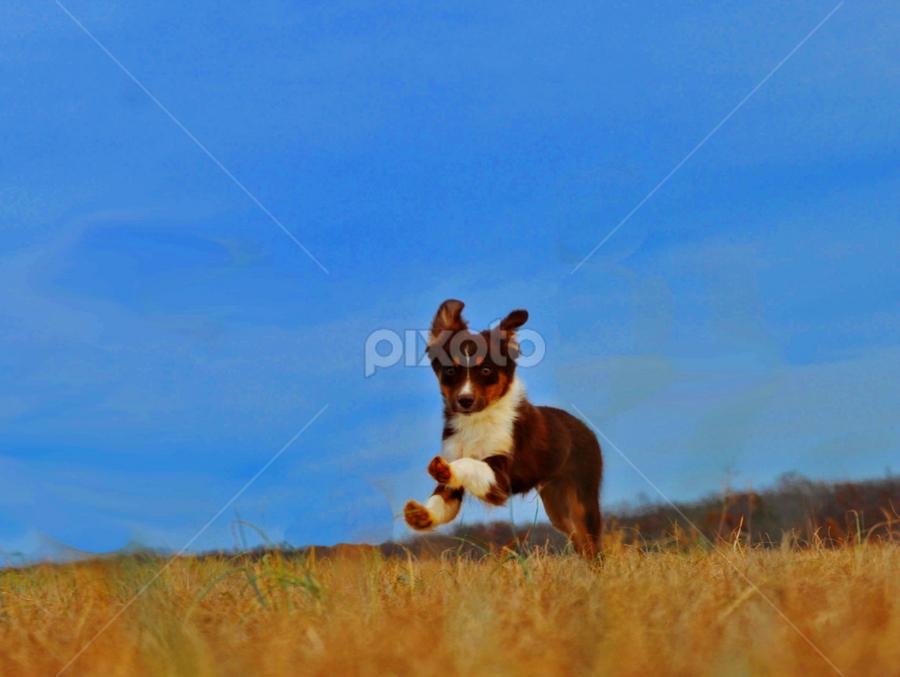 Uno by Kristen O'Brian - Animals - Dogs Playing ( water, australian sheperd, healdton, oklahoma, grass, ground, lake, run, running, playing, sky, blue, puppy, dog, nikon d5000, aussie )