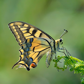 Machaon by Gorka Orexa - Animals Insects & Spiders ( butterfly, common, papillon, yellow, machaon, swallowtail, papilio )