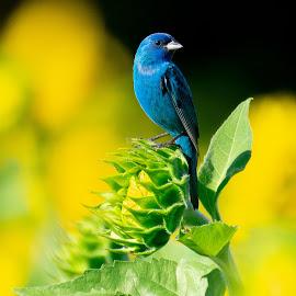 Indigo Bunting on Unopened Sunflower by Jane Gamble - Animals Birds ( nature, indigobunting, audobon, birds, sunflower )