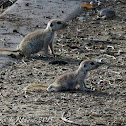 Round-tailed ground squirrels (juveniles)