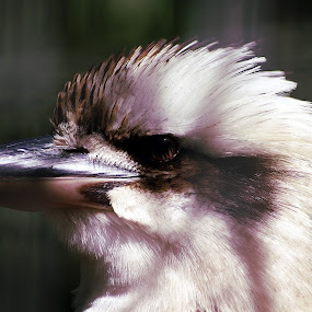 Kookaburra by Joanne Draper - Novices Only Wildlife ( bird, australia, wildlife, kookaburra )