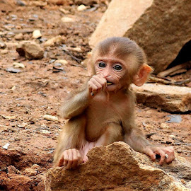 baby monkey by Niraj Jha - Animals Other Mammals