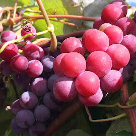 Vinoklet Grapes by Joe Stigall - Nature Up Close Gardens & Produce