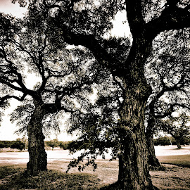 The Three Oaks by Kent Moody - Digital Art Places ( norse, oaks, black & white, texas, landscapes, live oaks )