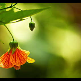 Nature's Bell by Vyom Saxena - Nature Up Close Flowers - 2011-2013 ( bell, orange flower, bud ., nature's bell, flower )
