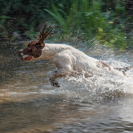 Springer by Anthony Wood - Animals - Dogs Running ( retriever, springer spaniel, action, working, dog, river )