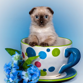 Richie Schwartz Photography - A Cup of Kitten by Richie Schwartz - Animals - Cats Kittens ( kitten, pet photography, richie schwartz )