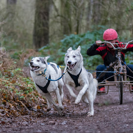 Siberian Husky Racing by Brian Garner - Animals - Dogs Running ( husky racing, huskies, siberian huskies, dogs running, sherwwod forest )