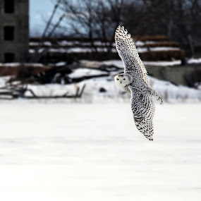 snowy owl by Chris Pepper - Animals Birds
