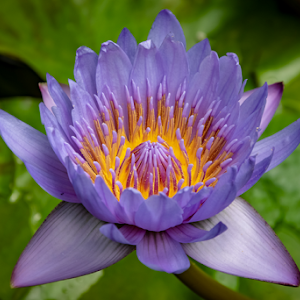 Victoria Butterfly Water Lily  10 05 2018.jpg
