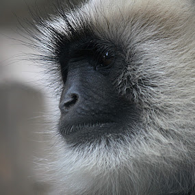 Gray Langur by Saeed Shoummo - Novices Only Wildlife ( saeed shoummo, bangladesh, সৌম্য, সাঈদ সৌম্য, মুখপোড়া হনুমান, shoummo, gray langur, হনুমান )