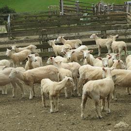 Shawn or Shorn by Russell Benington - Animals Other Mammals ( farm, animals, lambs, sheep, nz )
