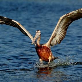 The Landing by Mahdi Hussainmiya - Animals Birds ( water splashes, nature, landing, waves, wings, action, pelican )