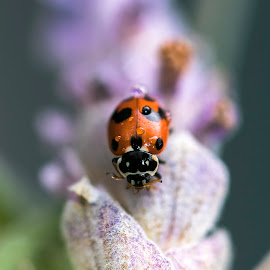 Lovely little visitor by Clarissa Human - Animals Insects & Spiders ( spots, ladybug, insects, lavender, insect )