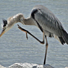 High Five by June Morris - Animals Birds ( great blue heron, high five, animals, birds,  )