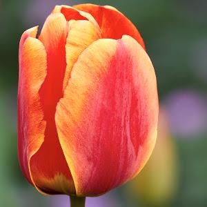 0 Tulip 99978~.jpg