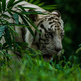 hunting mode by Manoj Kumar Vittapu - Animals Lions, Tigers & Big Cats ( cats, big cat, wild, animals, nature, tiger, wildlife, forest )