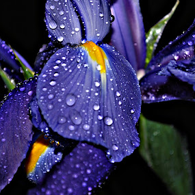 iris by Tim Hauser - Nature Up Close Flowers - 2011-2013 ( nature, art, fine art, iris, flower )