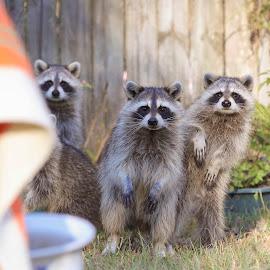 Well Hello by Lynn Kohut - Animals Other Mammals ( wild animal, animals, raccoons, nature up close, wildlife, backyard,  )