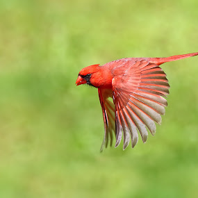 Male Northern Cardinal in flight. by Andrew Lawlor - Animals Birds