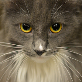 Gray by Tina Wiley - Animals - Cats Portraits ( animals, cat, long hair, furry, adopt, pets, whiskers, feline, animal,  )