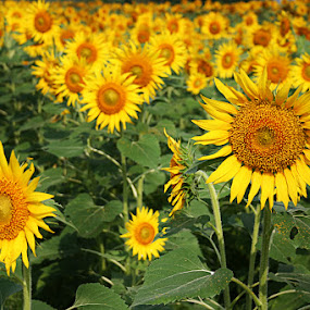 We are happy by Arvind Akki - Nature Up Close Gardens & Produce ( pwcflowergarden, sunflowers, flower, Hope,  )