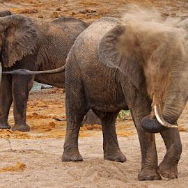 Dust Bath by Louis Pretorius - Animals Other Mammals