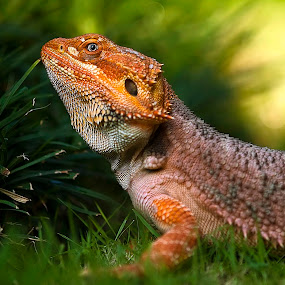 by Lim Darmawan - Animals Reptiles (  )