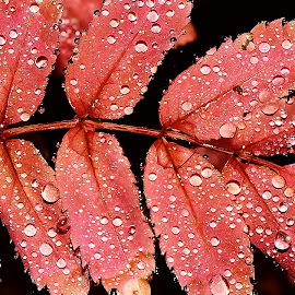 Mountain ash by Denton Thaves - Nature Up Close Leaves & Grasses ( tree, trees, leaf, leaves, mountain ash tree )