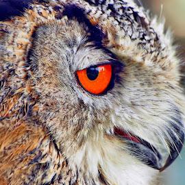 Mmmmmm whats that ? by Martin Hughes - Animals Birds ( bird, bird of prey, hdr, owl )