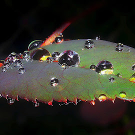 droplets by Capucino Julio - Nature Up Close Leaves & Grasses ( rose, nature, on, leaves, flower, droplets )
