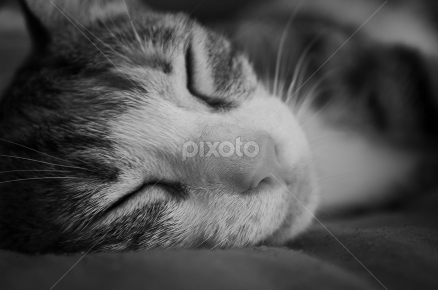 Cat Nap by Damian Allison - Animals - Cats Kittens ( asleep, kitten, cat, nap, sleeping, cute )