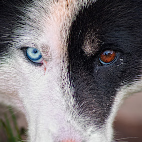 greenland dog by Tim Vollmer - Animals - Dogs Portraits ( greenland dog, tim vollmer, blue eye, husky, greenland, dog, portrait )