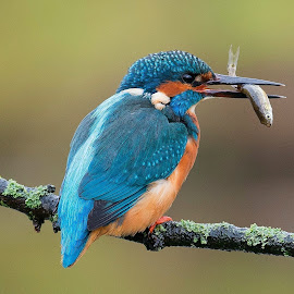Kingfisher  by Col Page - Animals Birds ( bird kingfisher fish river blue )