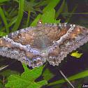 Black Witch Moth