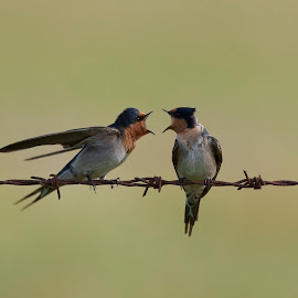 Welcome Swallows not so welcoming! by Georgina Stey - Animals Birds ( swallows, wild, australian, pair, welcome swallows, angry, birds, nature, yelling, arguing, australia, couple, swallow, animal )