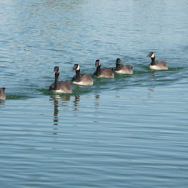 Follow the leader Canadian Geese style by Donna Probasco - Novices Only Wildlife