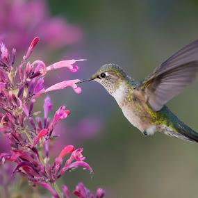 Hummingbird by Brandon Downing - Animals Birds ( bird, macro, nature, hummingbird, fine art, wildlife, broad-tailed )