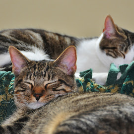 Sleeping Kittens by Viana Santoni-Oliver - Animals - Cats Kittens ( asleep, quilt, furry, sleeping, eyes, cats, blanket, nature, lying down, shut, pets, fur, domestic short-haired, kittens, gold, tabby, closeup, black, mammals, animals, green, white, dsh, resting, ears, brown )