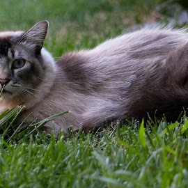 In the grass by Karoner Gaming - Animals - Cats Portraits ( looking into camera, grass, cat, hose, scared )