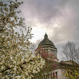 Washington State Capital by Kathy Suttles - Buildings & Architecture Public & Historical ( suttleimpressions, blooms, gardens, springtime, washington state capital )