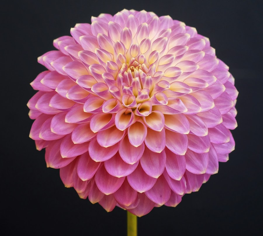 Petal patterns by Jim Downey - Flowers Single Flower ( gold, dahlia, violet, black, petals )