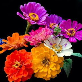 Z for Zinnia by Paula Eagle - Nature Up Close Flowers - 2011-2013 ( zinnia, multi-color, flowers, landscape )