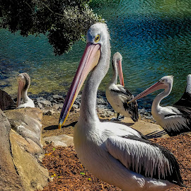 Mr Pelican by Taz Graham - Animals Birds ( sunshine, birds, pelican )