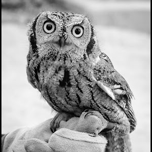Screech Owl-4.jpg