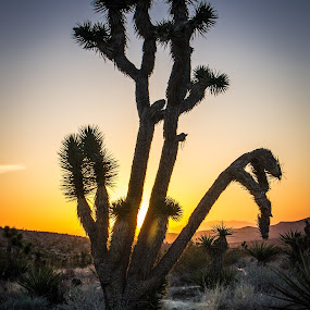 Joshua Tree Sunrise by Brent Huntley - Landscapes Deserts ( national recreation area, red rock, canyon, joshua tree, sunrise, travel, nikon, landscape, tamron, photography )